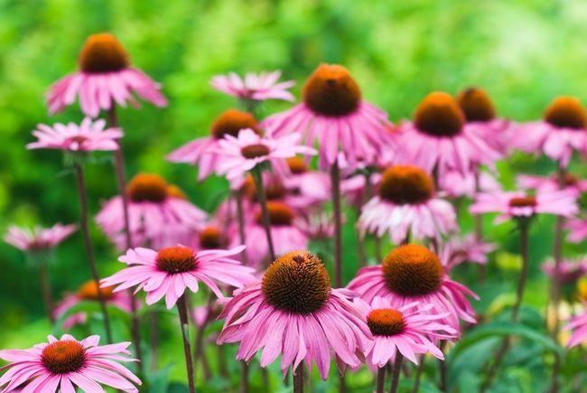 10 Grunde echinacea bør vokse i enhver have