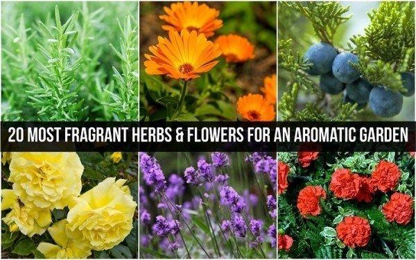 20 De fleste duftende urter & blomster til en aromatisk haven