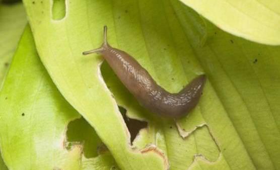 Hvordan at slippe af haven snegle?